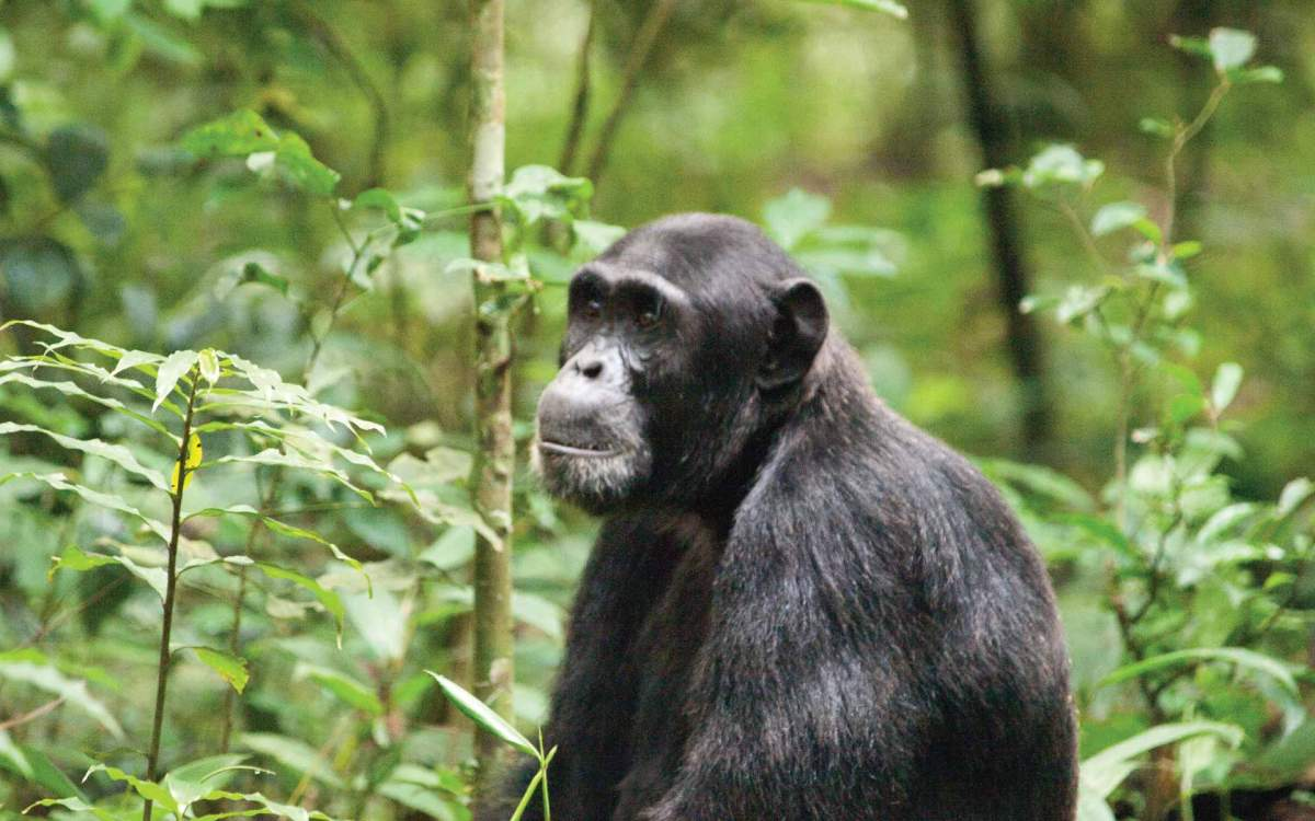 Kibale Chimpanzee Tracking - Uganda Safari