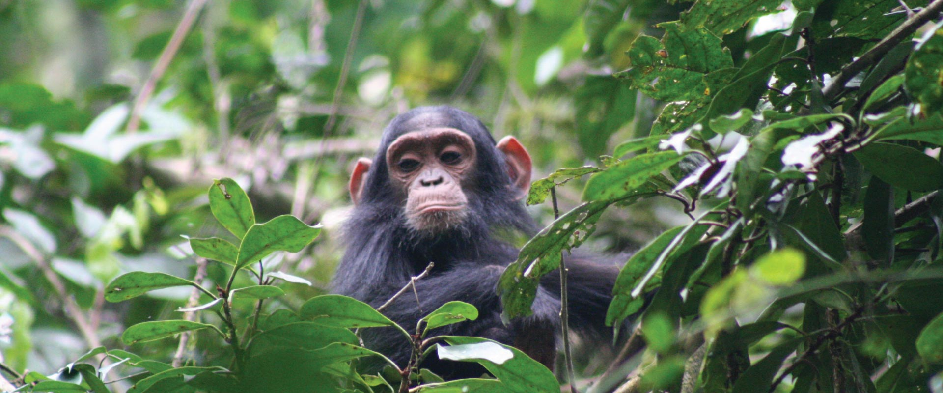 Kibale Forest National Park, Chimpanzee