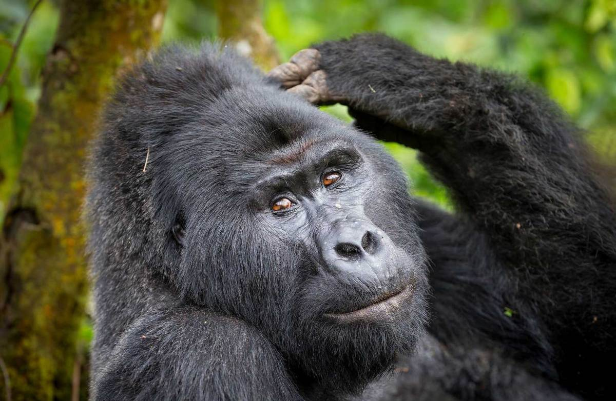 Mountain Gorilla in Uganda, Bwindi Forest