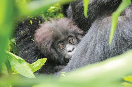 How to see mountain gorillas: Mind-blowing Bucket-list Trip