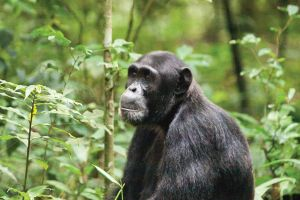 Uganda chimpanzee and wildlife safari