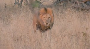 One of the Birmingham male lions making his way through drying yellow grass.