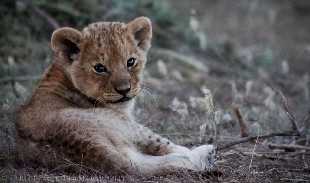 Tiny lion cub glances at the camera over his shoulder.