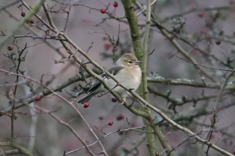 Das Buchfinken-Weibchen