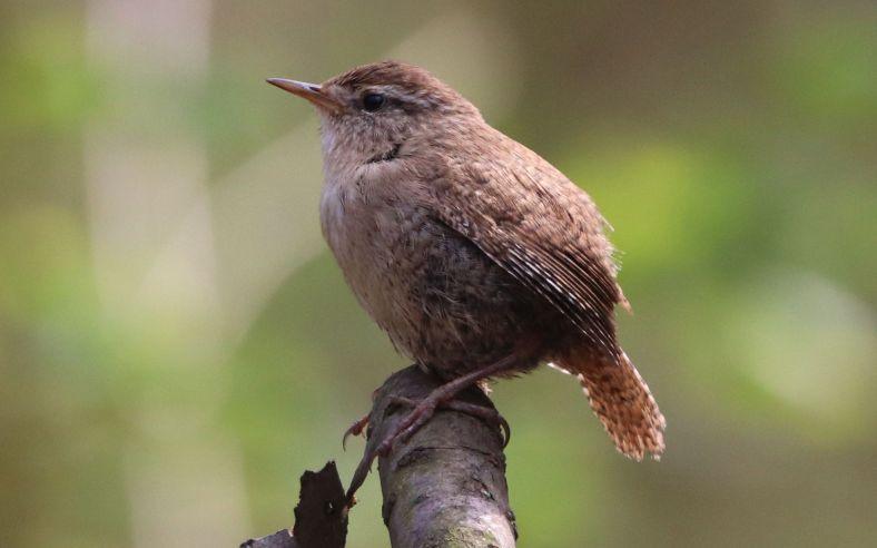 Zaunkönige - Unsere kleinen Singvögel
