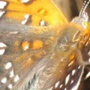 Lange's Metalmark Butterfly