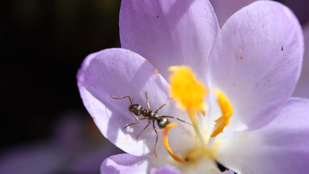 Alternativtext: Ameise im Krokus