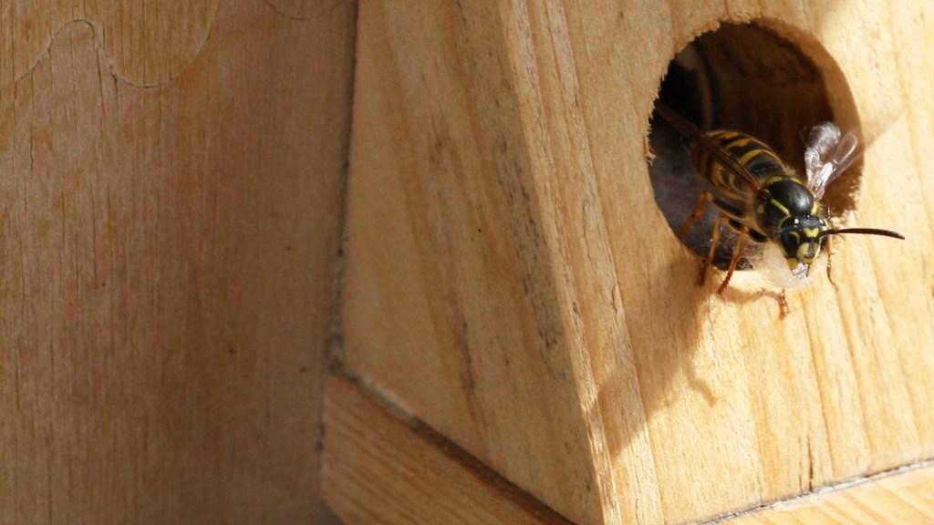Wespe mit Kapok