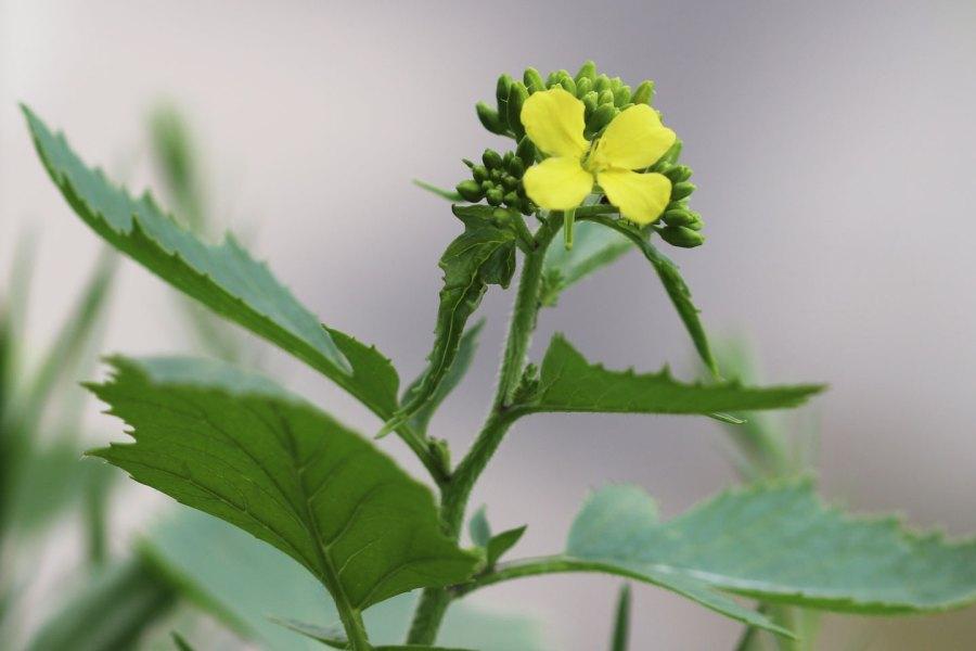 Spätere Ackersenf-Blüte vom 10. Mai