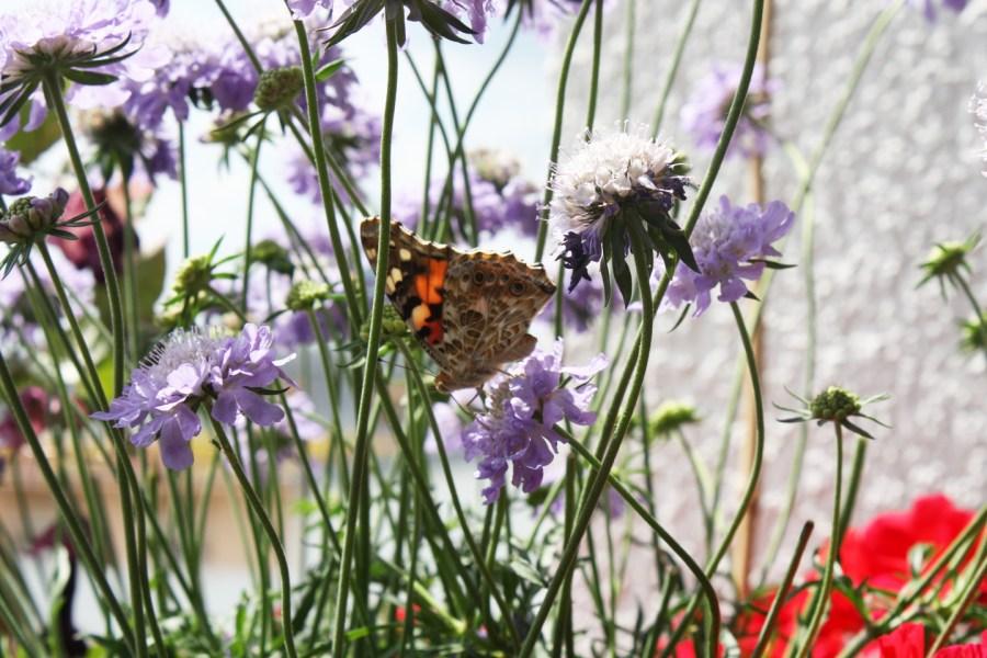 Distelfalter (Vanessa cardui) auf Wiesenwitwenblume