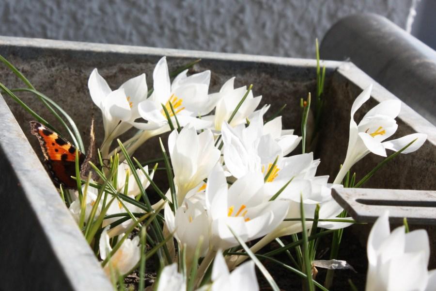 Kleiner Fuchs (Aglais urticae) am 18. März 2015 im Blumenkasten mit Krokusse