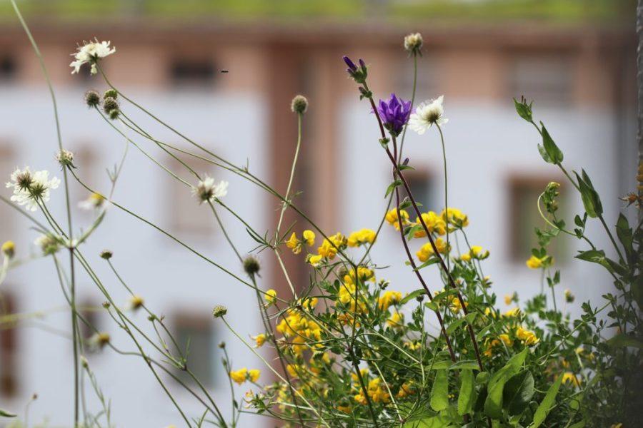 Knäuel-Glockenblume, Hornklee und Gelbe Sakbiose.