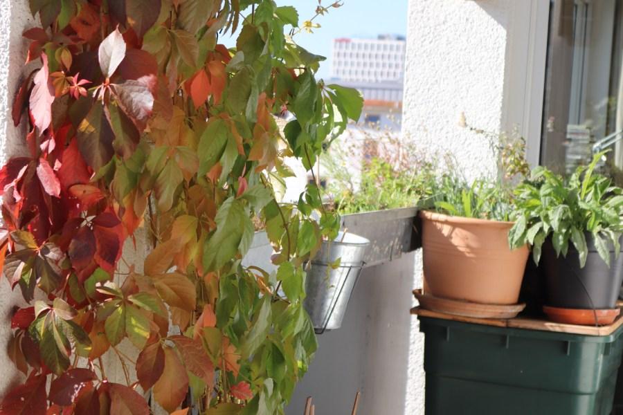 Wilder Wein (P. inserta) , Herbstfärbung - ohne Beeren