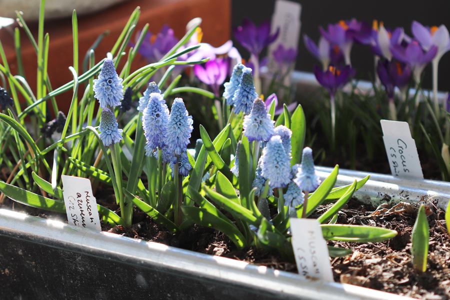 Himmelblaue Traubenhyazinthen im Blumenkasten.
