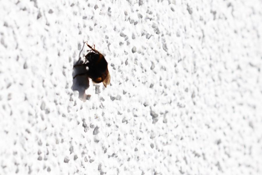 Jungkönigin einer dunklen Erdhummel wärmt sich an der Hauswand auf dem Wilden Meter.