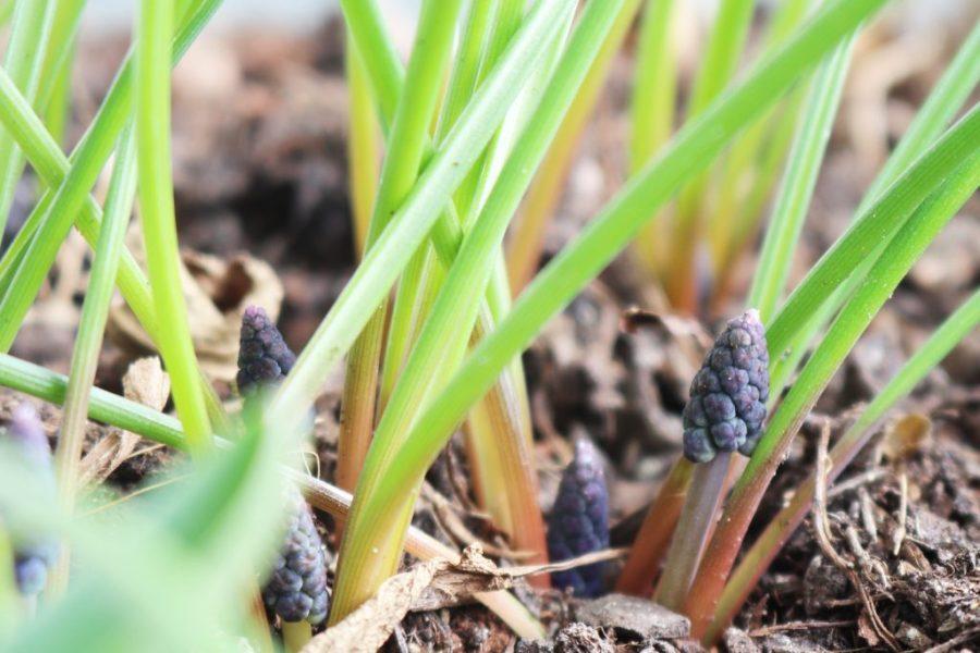 Weinbergs-Traubenhyazinthe (Muscari neglectum)