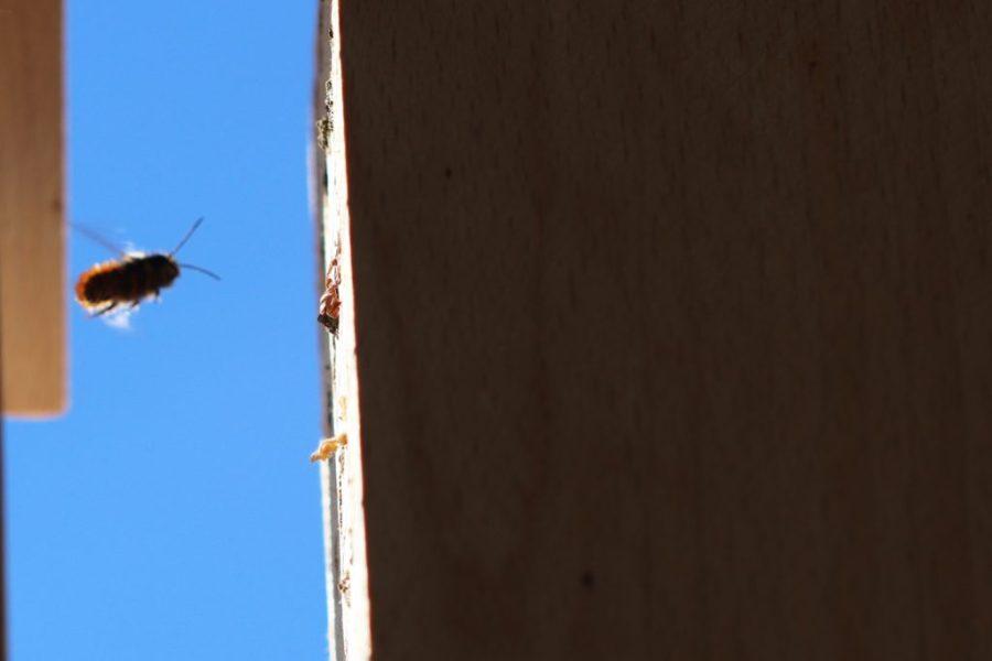 Das erste Mauerbienenmännchen der Saison 2019 auf der Suche nach Weibchen an einer Nisthilfe.