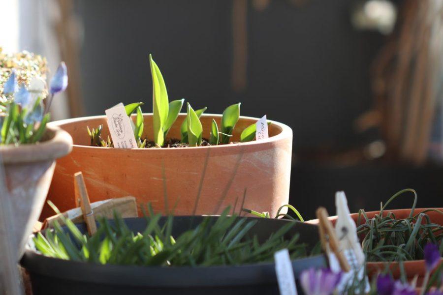 Felsen-Tulpe, Sorte: Lilac Wonder (Tulipa bakeri  'Lilac Wonder')