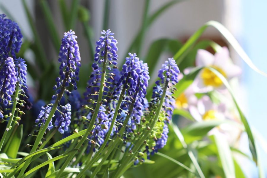 Armenische Traubenhyazinthe (Muscari armeniacum) und Felsen-Tulpe, Sorte: Lilac Wonder (Tulipa bakeri 'Lilac Wonder')