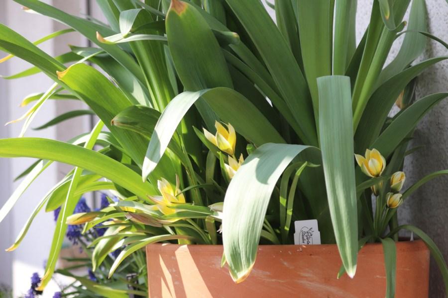 Missglückter Schichttopf: Gequetschte Tulpen, zuviele Blätter: Modell explodierte Perücke