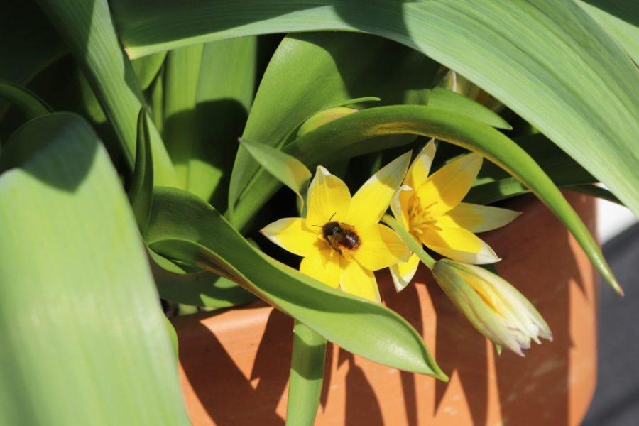 Weibchen der Gehörnten Mauerbiene (Osmia cornuta) sammelt Pollen in Zwerg-Stern-Tulpe (Tulipa tarda) auf dem Wilden Meter