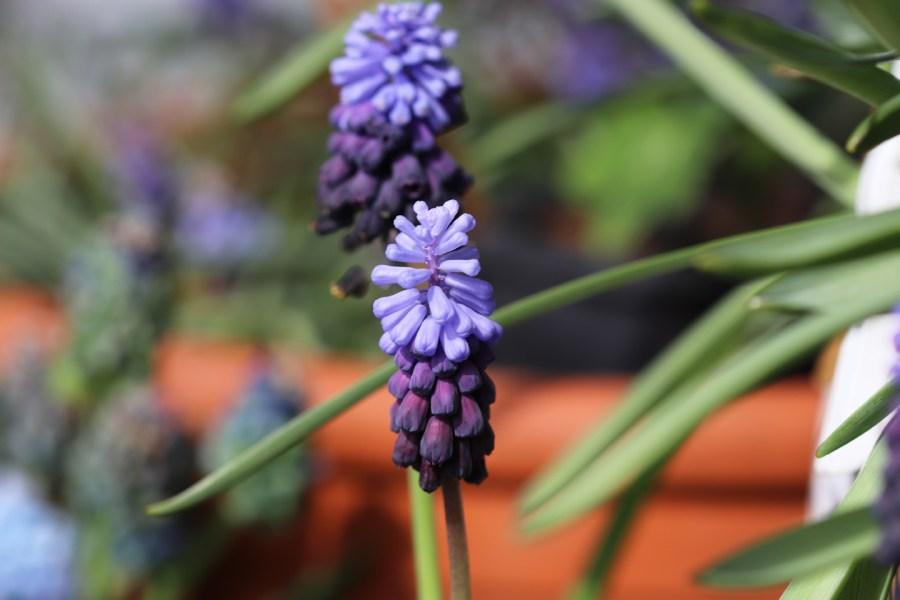 Breitblättrige Traubenhyazinthe (Muscari latifolium)