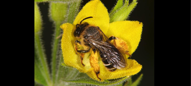 Wildbiene des Jahres 2020: Auen-Schenkelbiene auf Gilbweiderichblüte