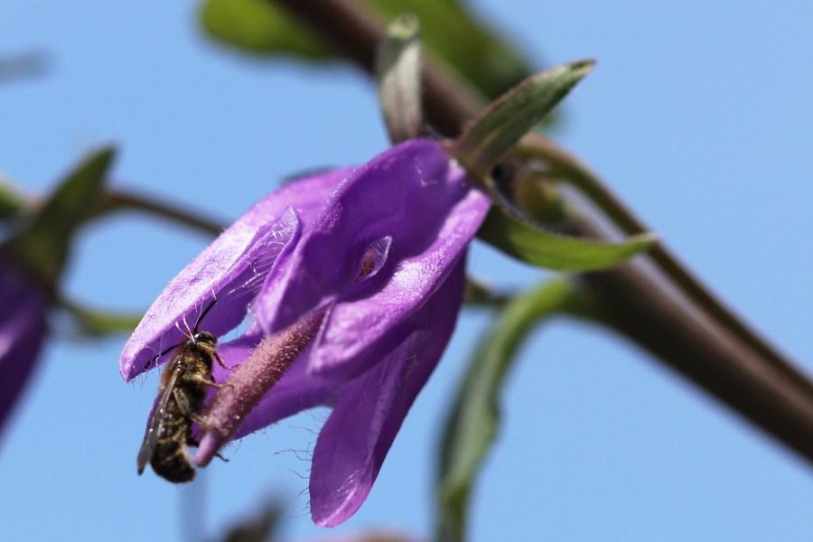 Männchen der Glockenblumen-Scherenbiene Ende Mai
