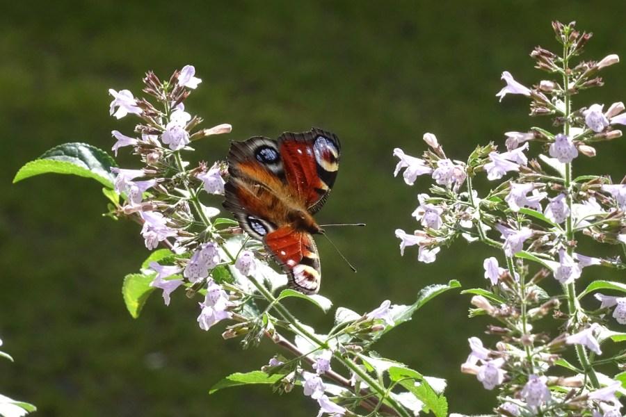 Ein Schmetterling hat die Bergminze entdeckt.