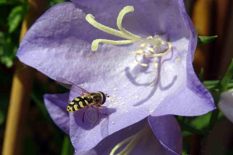 Eine Schwebfliege speist in der Blüte einer Pfirsichblättrigen Glockenblume