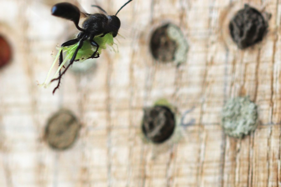 Die Stahlblaue Grillenjägerin (Isodontia mexicana) im Anflug mit ihrer Beute, einer Eichenschrecke.