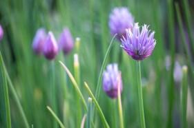 perennial edible plants