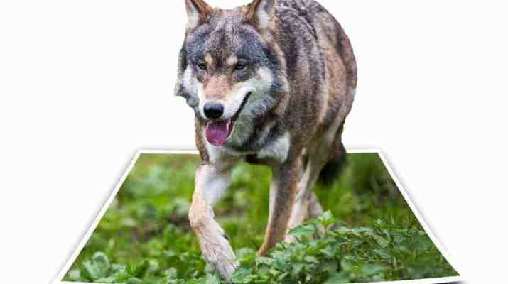Swiss association of the mountain villages, regions and landowners pledges for shooting of wolves