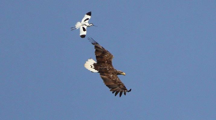 White-tailed eagle massacre continues