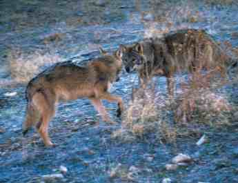 Latvia hunts wolf pups and pregnant wolves