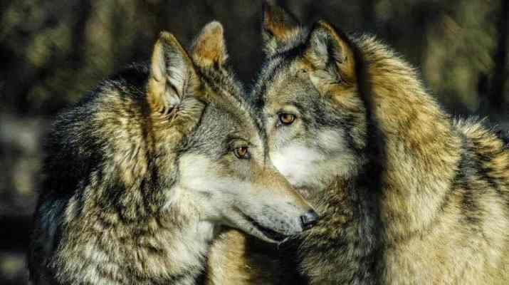 The tale of two Wolves - which one wins?