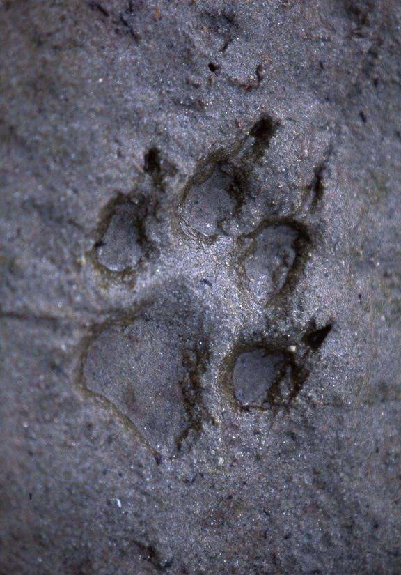 Wolf Comeback from wilderness in Europe