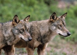 Poster available: Wolves restore nature's balance in Europe