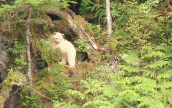 An environmental Milestone - Home of the rare Spirit Bear saved!