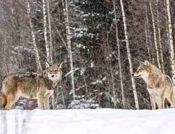2-Grauwolfe-im-Schneec-Wild-Wonders-of-Europe_Sergey-Gorshkov_WWF-1.jpg