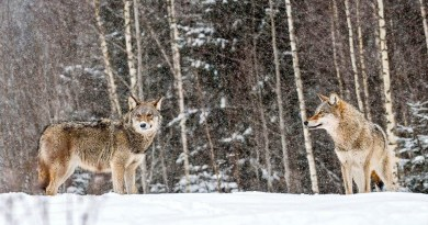 2-Grauwolfe-im-Schneec-Wild-Wonders-of-Europe_Sergey-Gorshkov_WWF-1.jpg - © European Wilderness Society CC BY-NC-ND 4.0