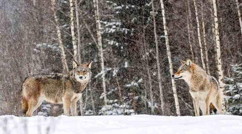 2-Grauwolfe-im-Schneec-Wild-Wonders-of-Europe_Sergey-Gorshkov_WWF-1.jpg - © European Wilderness Society CC BY-NC-ND 4.0