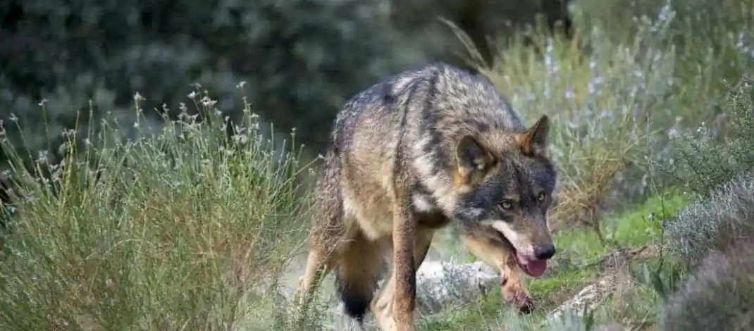 The future of the Iberian wolves