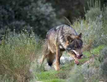 Spanish wolf-hunt banned for 2018-2019