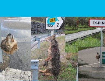 indiscriminate-killing-of-wolves-in-asturias-spain