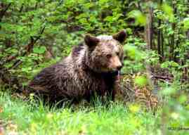 Bear-problems in Romania: who is to blame?