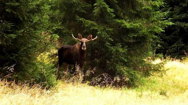 Moose as a part of European Wilderness!
