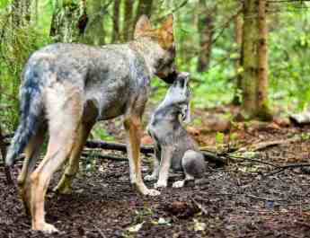 Wolf pack established on Dutch-German border