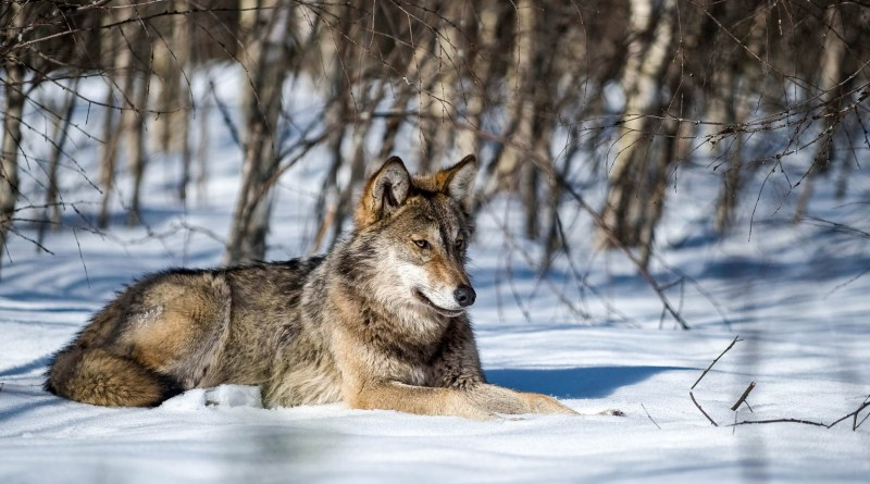 Grauwolf liegt im Schnee c Wild Wonders of Europe_Sergey Gorshkov_WWF.jpg - © WWF All Rights Reserved
