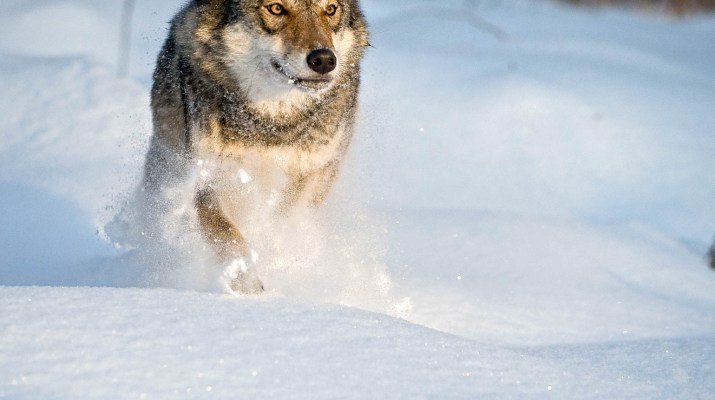 Wolves WWF © All rights reserved